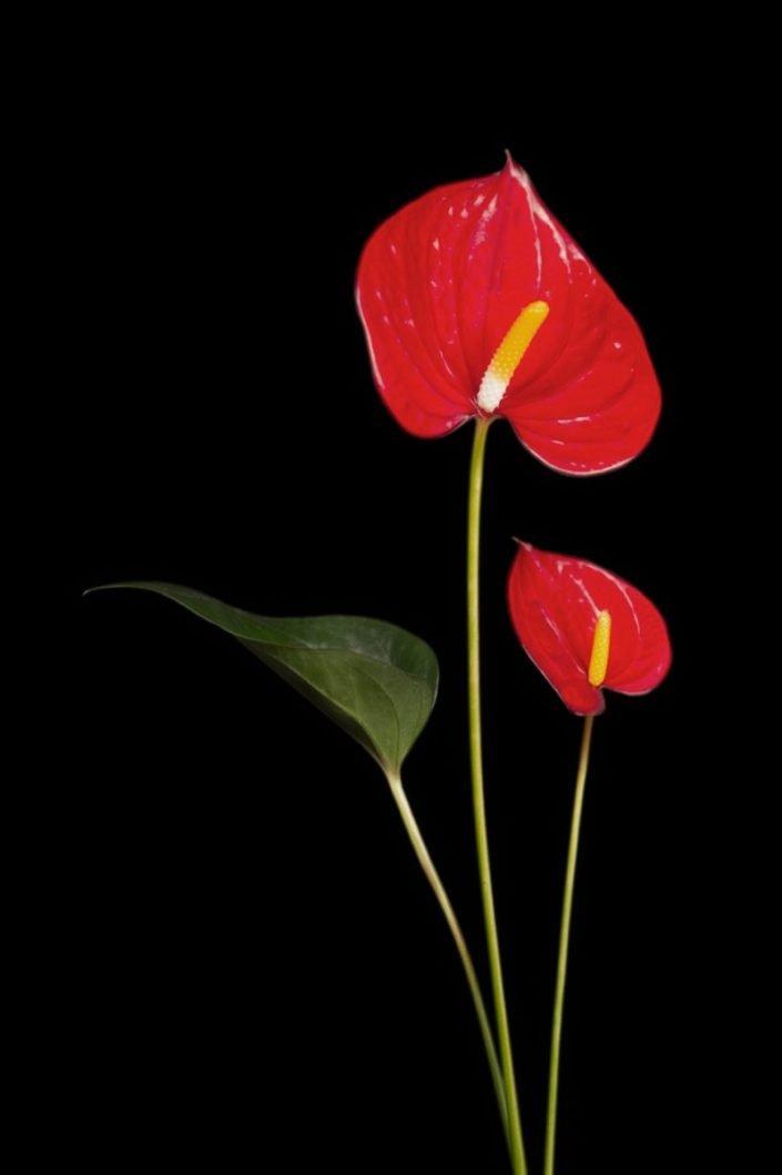 Plantae - BID - Anthurium