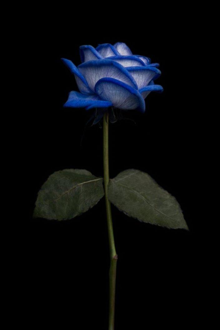 Plantae - BID - Blue Rose