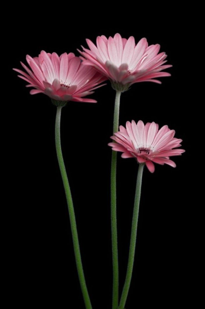 Plantae - BID - Gerbera