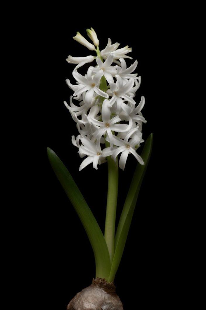 Plantae - BID - Jacinto