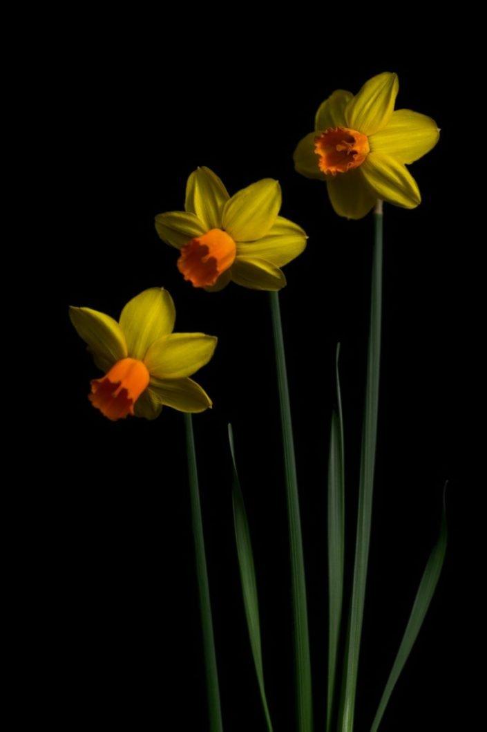 Plantae - BID - Narcissus Jetfire