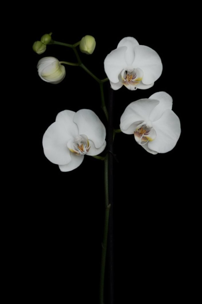 Plantae - BID - Orquídea Phalaenopsis