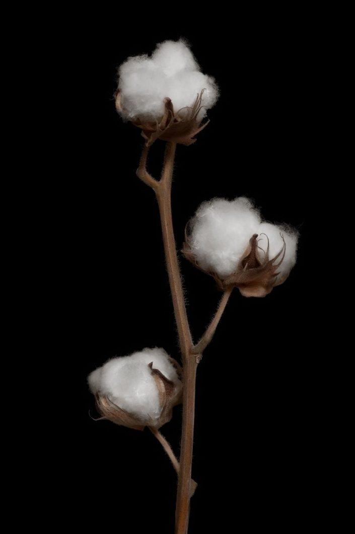 Plantae - BID - Planta del algodón