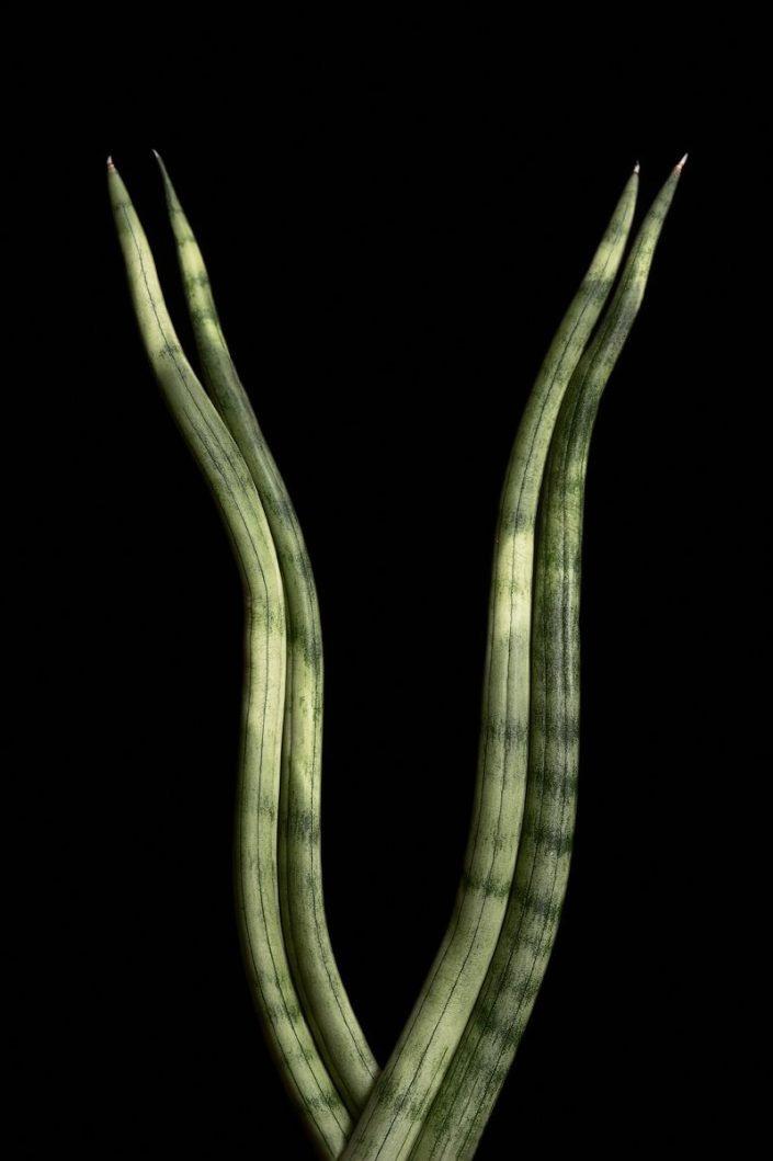 Plantae - BID - Sansevieria Luxe