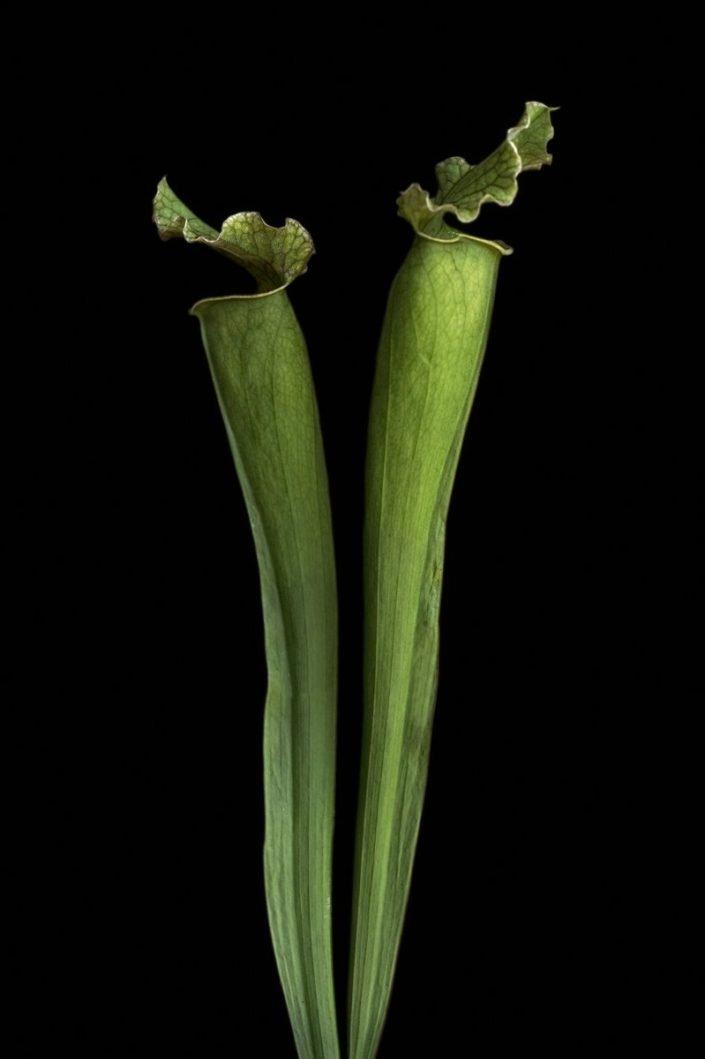 Plantae - BID - Sarracenia