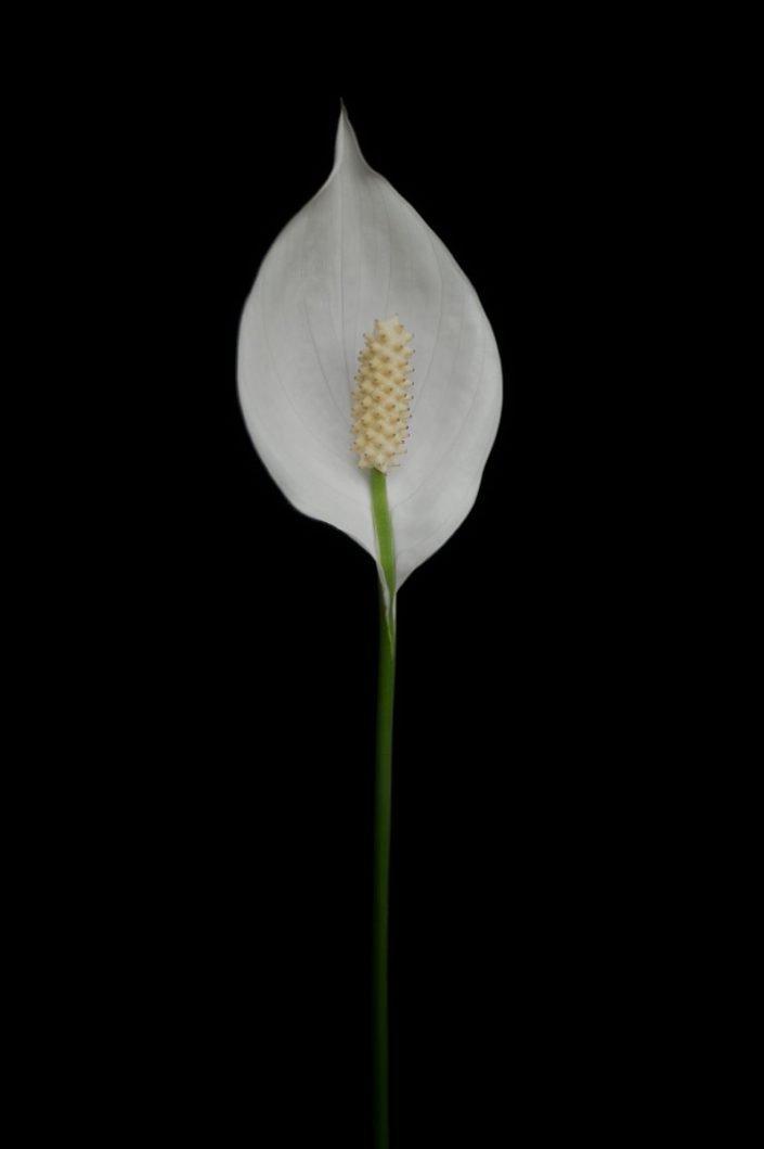 Plantae - BID - Spathiphyllum