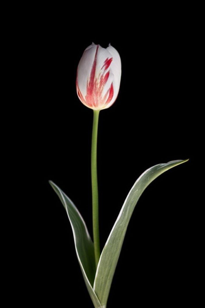 Plantae - BID - Tulipán