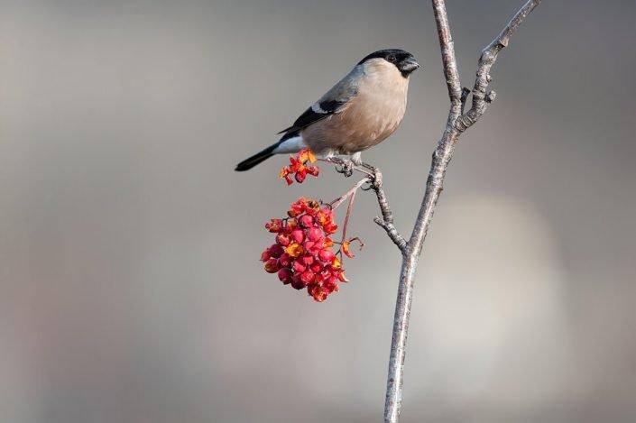 Animalia - Wintering birds in Picos de Europa - Bullfinch