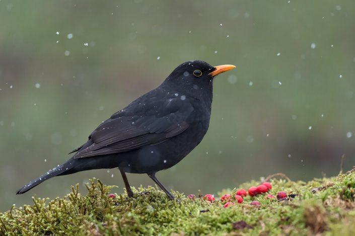 Animalia - Wintering birds in Picos de Europa - Common Blackbird