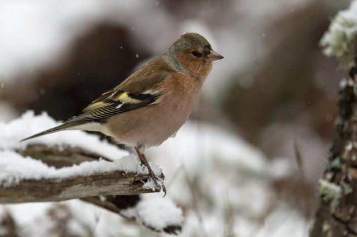Animalia - Wintering birds in Picos de Europa - Common Chaffinch
