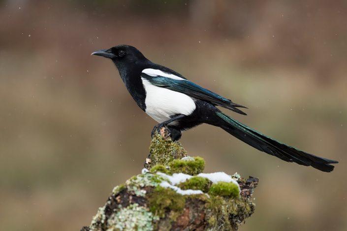 Animalia - Wintering birds in Picos de Europa - Common Magpie