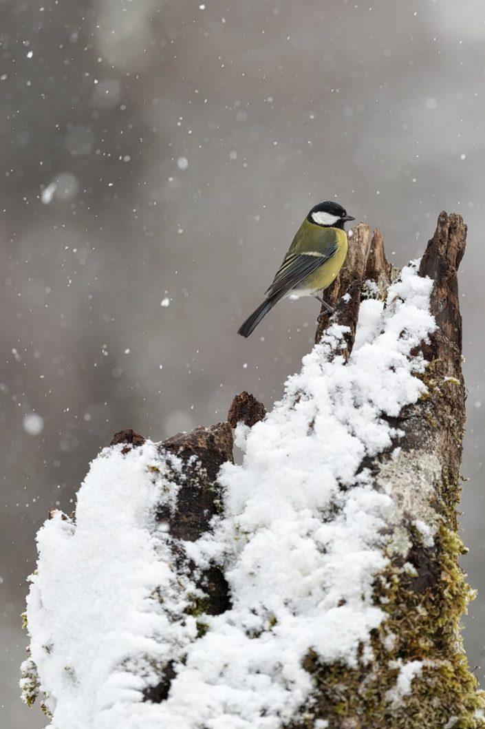 Animalia - Wintering birds in Picos de Europa - Great Tit