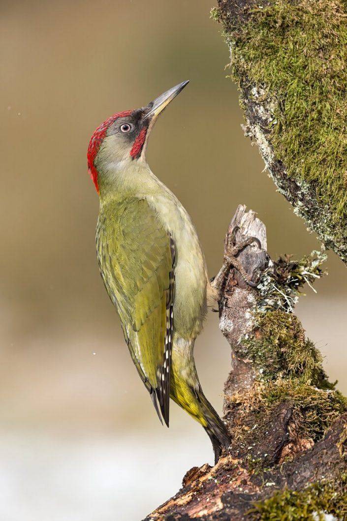 Animalia - Wintering birds in Picos de Europa - Green Woodpecker