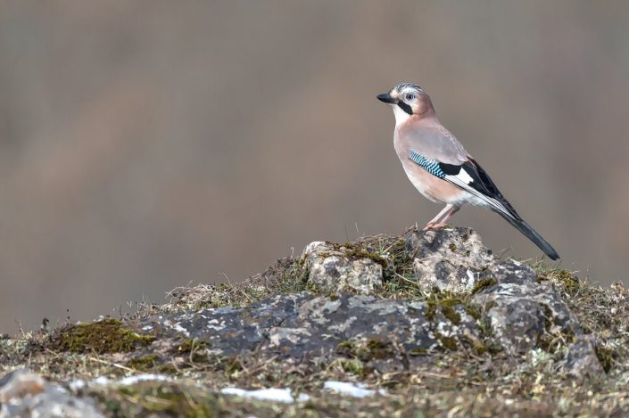 Animalia - Wintering birds in Picos de Europa - Jay