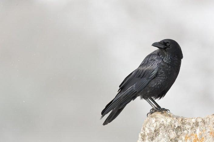 Animalia - Wintering birds in Picos de Europa - Raven