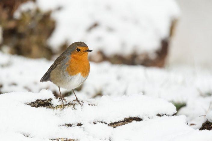 Animalia - Wintering birds in Picos de Europa - Robin