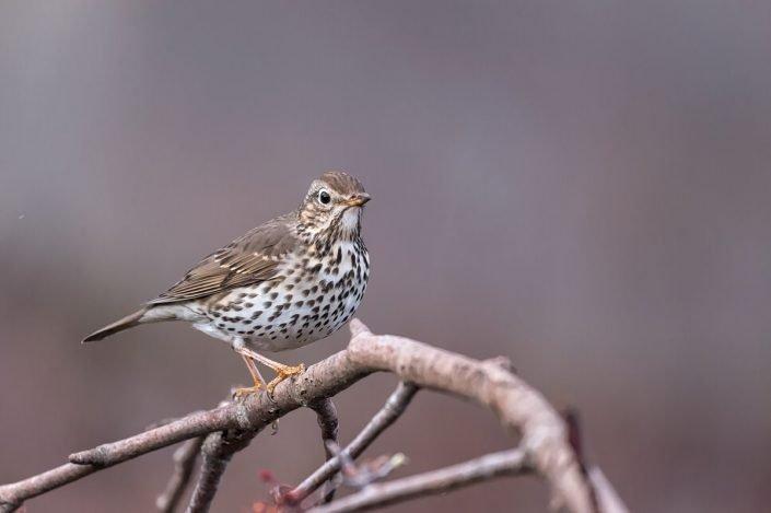 Animalia - Wintering birds in Picos de Europa - Song Thrush