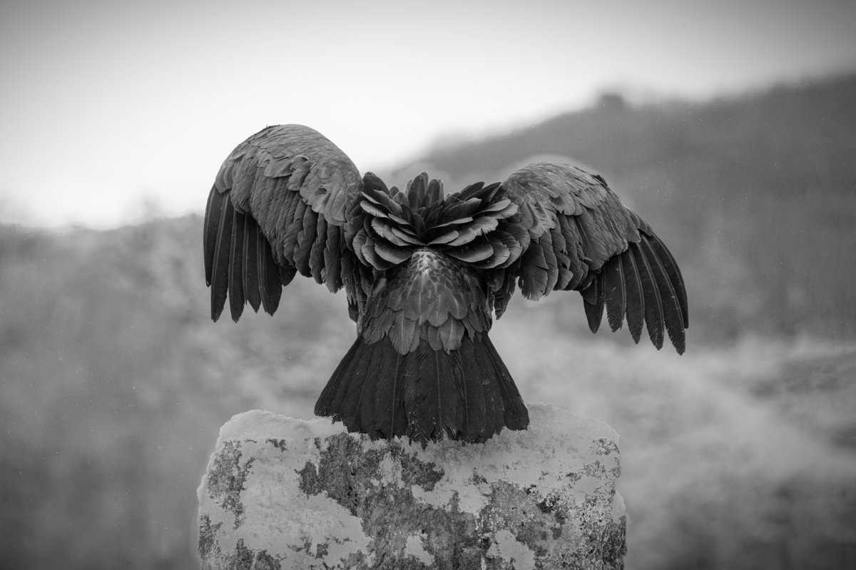 Animalia - Wintering birds in Picos de Europa - Vulture