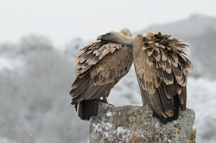 Animalia - Wintering birds in Picos de Europa - Vulture
