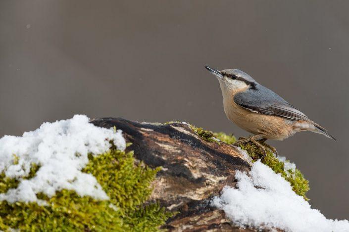 Animalia - Wintering birds in Picos de Europa - Wood Nuthatch