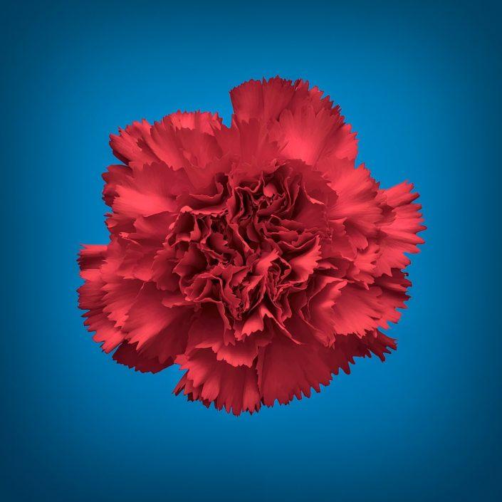 Plantae - Bicolor - Clavel