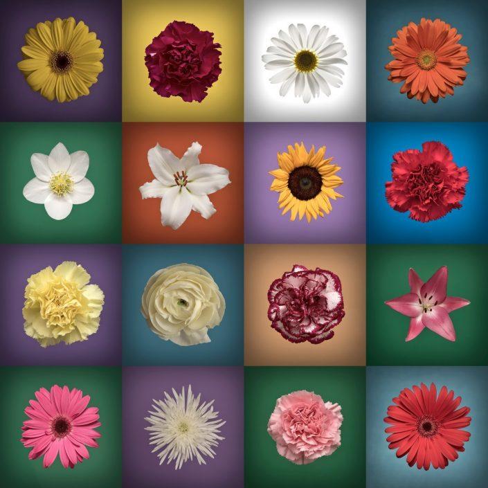 Plantae - Bicolor - Flores