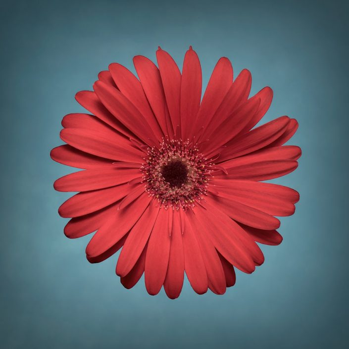 Plantae - Bicolor - Gerbera