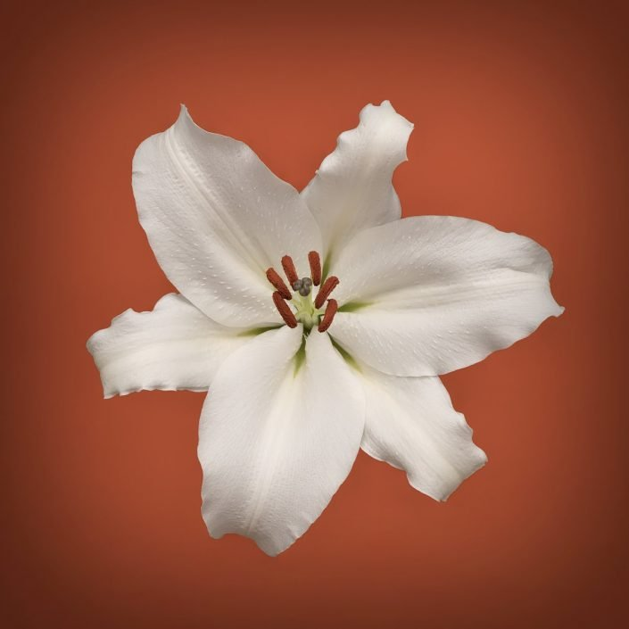 Plantae - Bicolor - Lillium