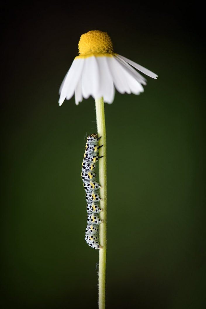 Animalia - Insecta - Caterpillar