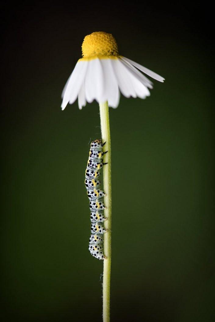 Animalia - Insecta - Caterpillar