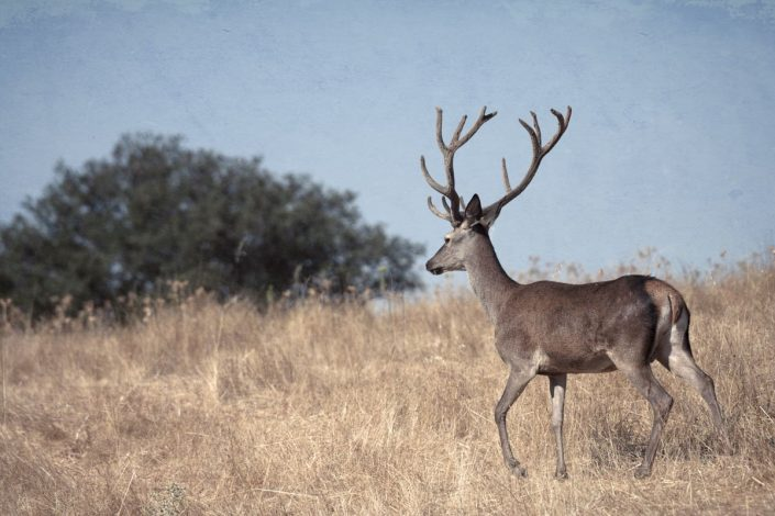 Animalia - Deer - Stags and does
