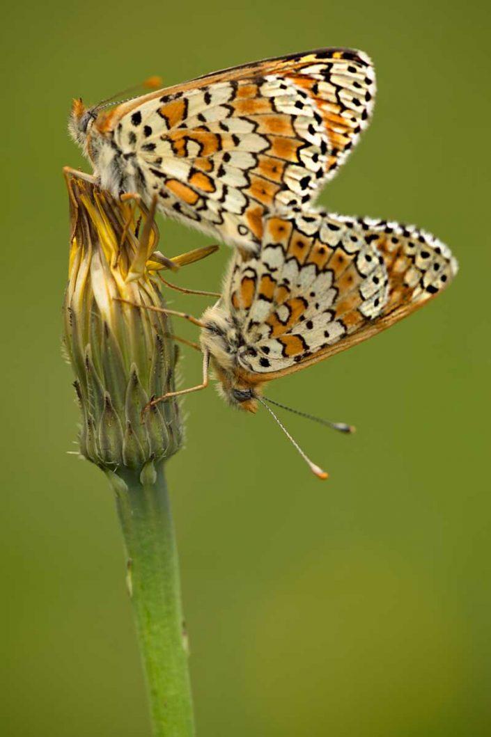 Animalia - Butterflies 03