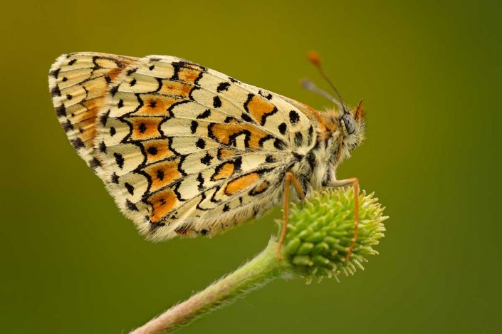 Animalia - Butterflies 04
