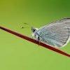 Animalia - Butterflies 09
