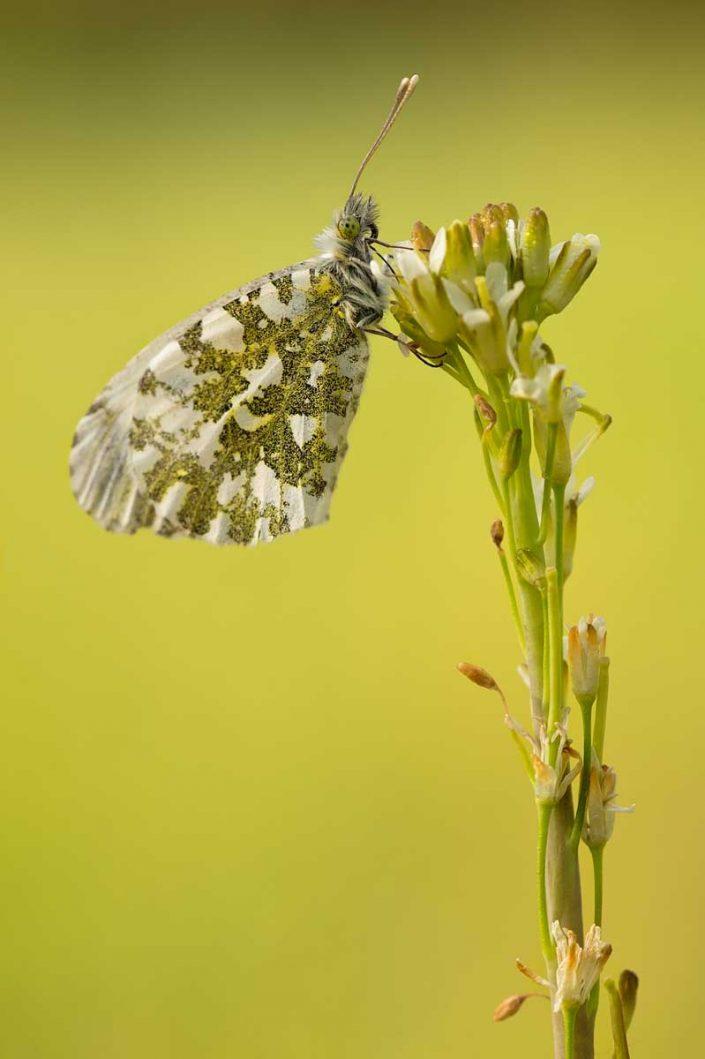 Animalia - Butterflies 11