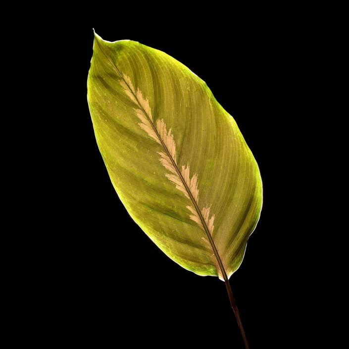 Plantae - Leaves#03 - Color