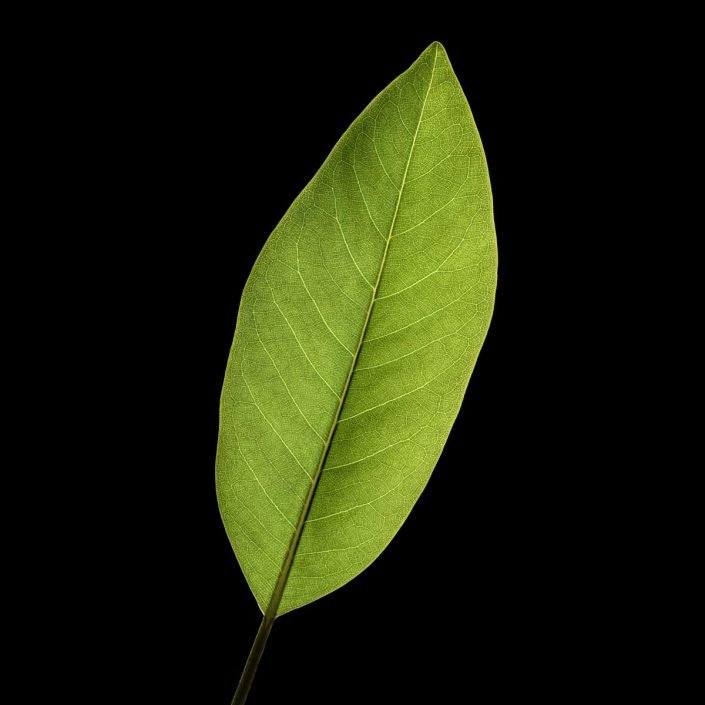 Plantae - Leaves#05 - Color