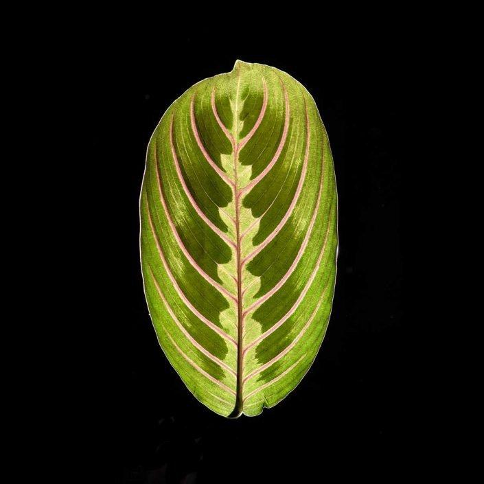 Plantae - Leaves#06 - Color