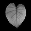 Plantae - Leaves#07 - BN
