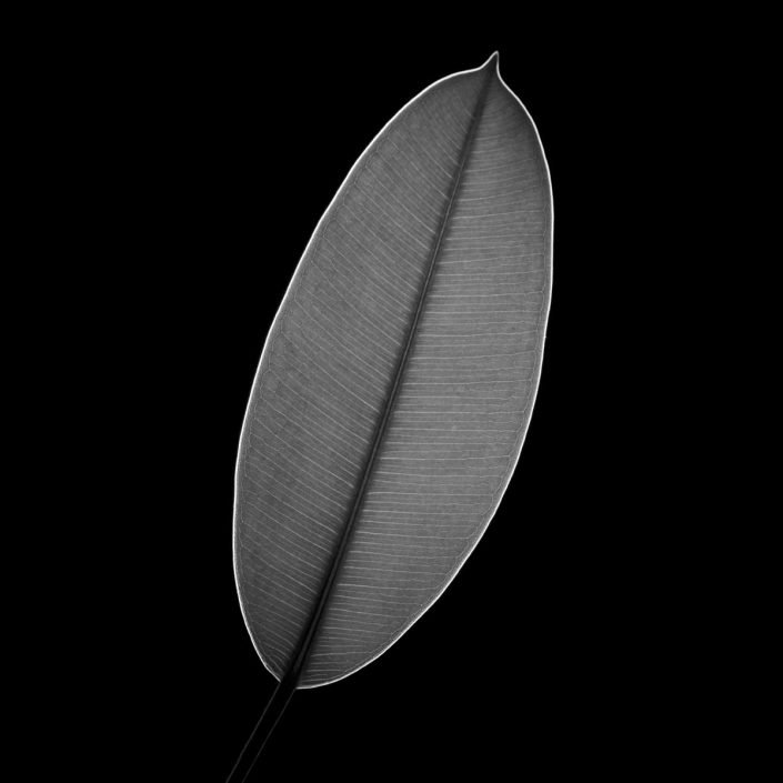 Plantae - Leaves#08 - BN