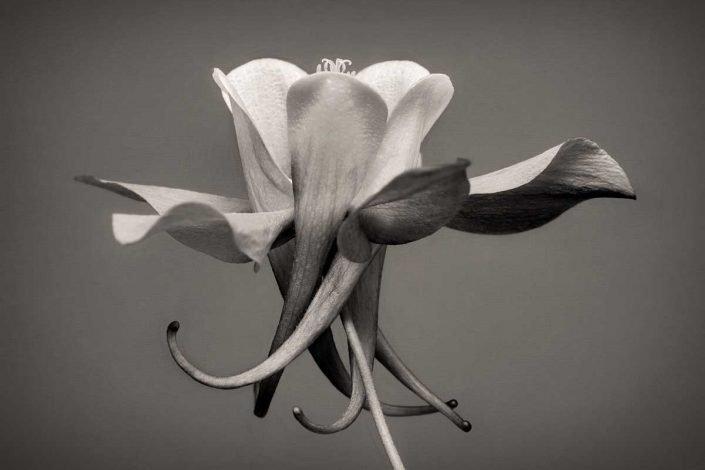 Plantae - Monóchrōmos - Aquilegia Caerulea Origami