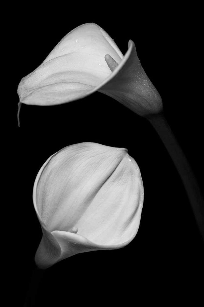 Plantae - Monóchrōmos - Calla Lily