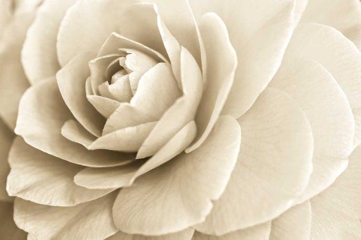 Plantae - Monóchrōmos - Camellia