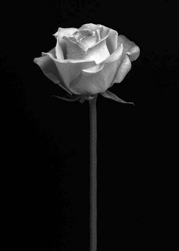 Plantae - Monóchrōmos - Rose