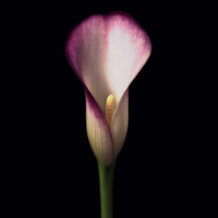 Plantae - Cala - Purple Calla