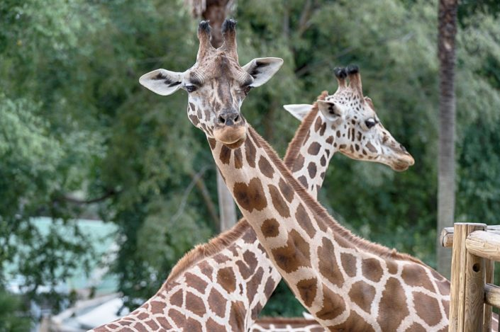 Animalia - Animales en Cautividad - Giraffe