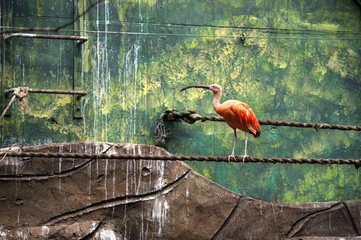 Animalia - Animales en Cautividad - Ibis