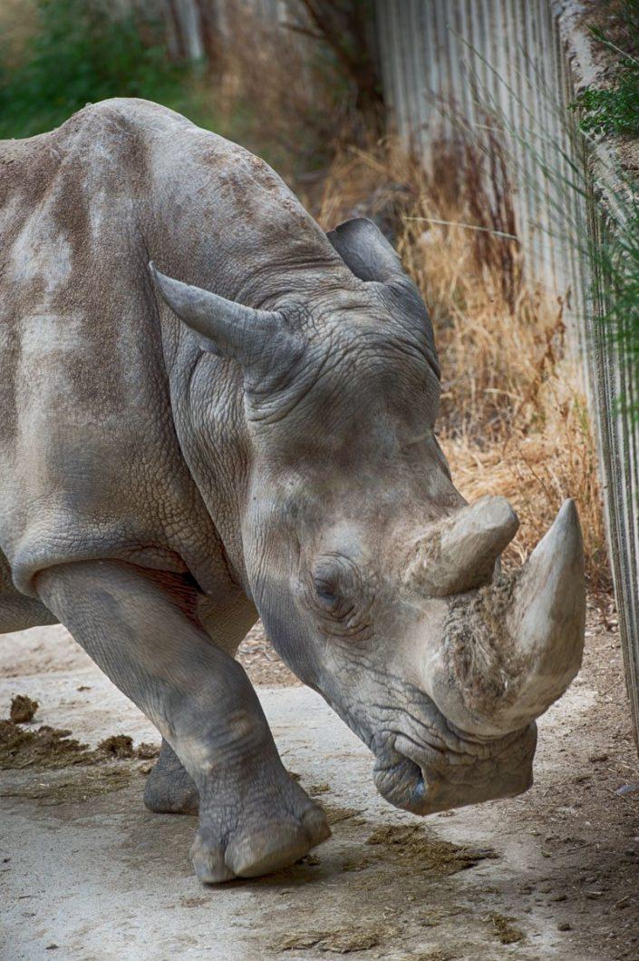 Animalia - Animales en Cautividad - Rhino