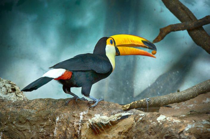 Animalia - Animales en Cautividad - Toucan