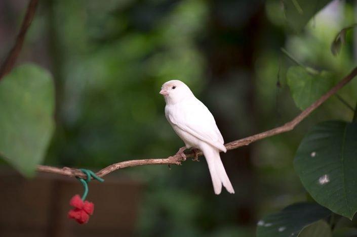 Animalia - Animales en cautividad - Canary